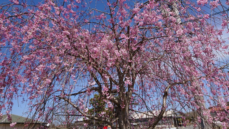 ビルネ・ラーデン 枝垂桜が満開 2021.04-1