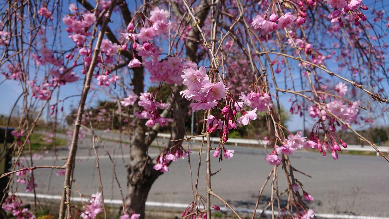 ビルネ・ラーデン 枝垂桜が満開 2021.04-2